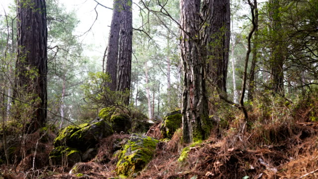 Slowly moving through a forest Slowly moving across a thick forest with tall straight tree trunks covered in morning light and rocks covering the floor boulder rock stock videos & royalty-free footage