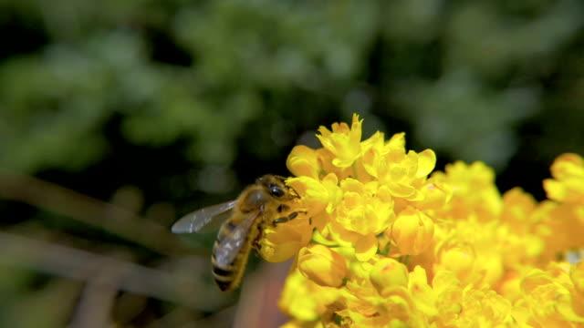 HD-Zeitlupe,:  Biene und Gelbe Blumen – Video