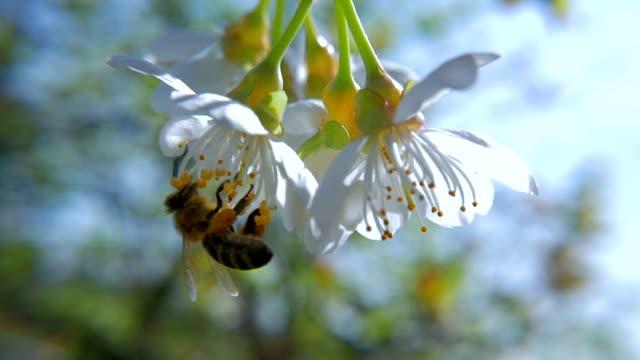 hd slow-mo: bee searching for nectar - äppelblom bildbanksvideor och videomaterial från bakom kulisserna