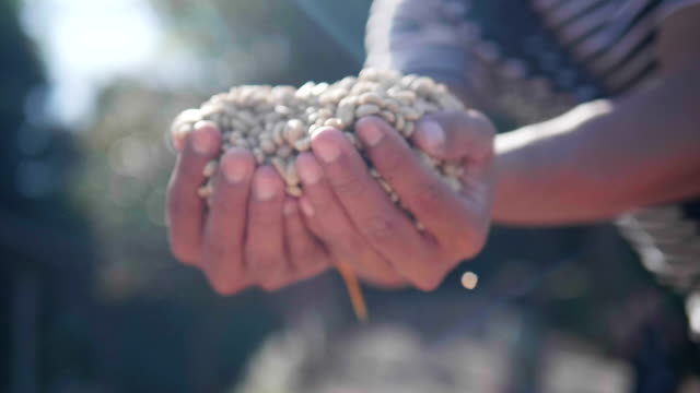 slow-motion close up hand check coffee seed on day light field. hands sifting drying coffee beans by coffee farmer - coffee farmer video stock e b–roll