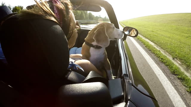 Slow-motion footage of a beagle sitting on the lap in the convertible