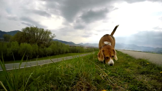 Slow-motion footage of a beagle sniffing the ground while on the walk Slow-motion footage of a beagle sniffing the ground while on the walk hound stock videos & royalty-free footage