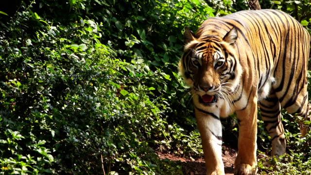 vidéos et rushes de au ralenti du tigre de bengale marchant dans la forêt - animaux à l'état sauvage