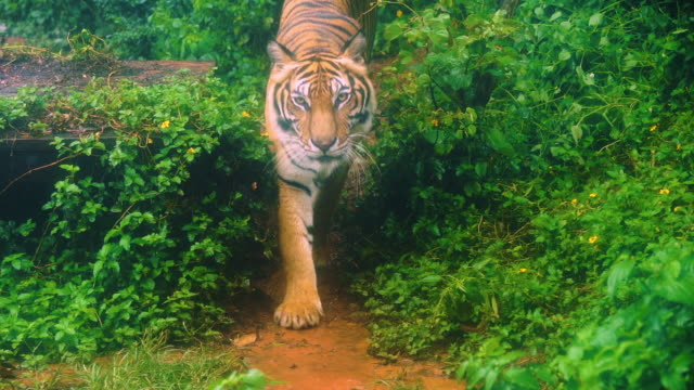 slow-motion of bengal tiger walking in the forest