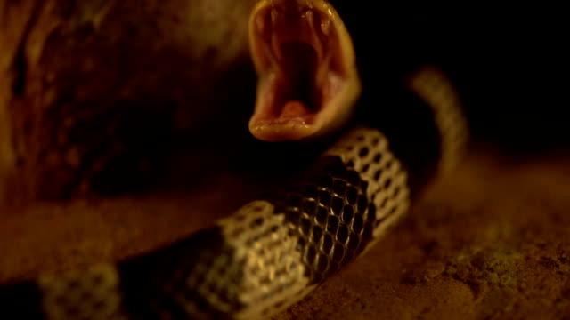 slow-motion of Close up Blue Krait snake ( Bungarus candidus) open mouth video