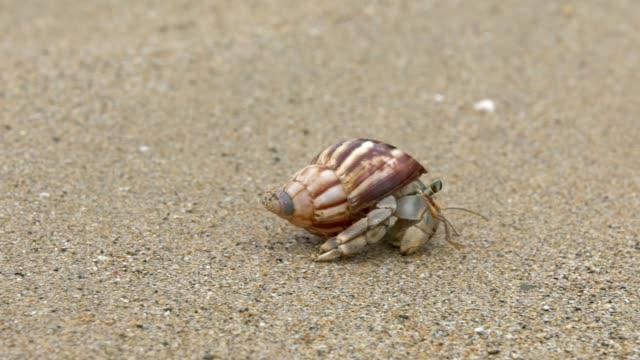 vidéos et rushes de slowmotion de crabe ermite mignon porter belle coquille rampant sur la plage de sable. - coquille et coquillage