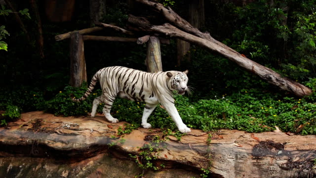 slow-motion of white bengal tiger walking in the forest - zoo filmów i materiałów b-roll