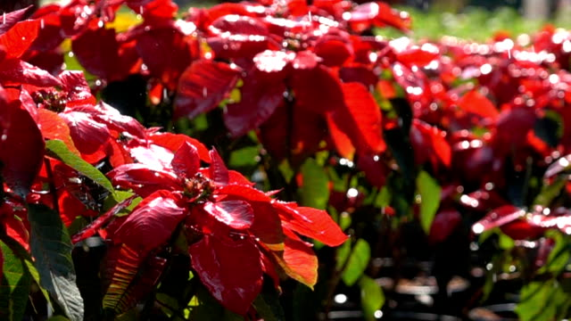 slow-motion, poinsettia flower and water spray from sprinkler video