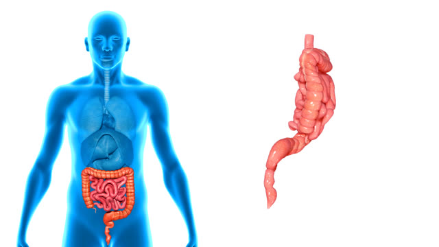Small and Large intestines video