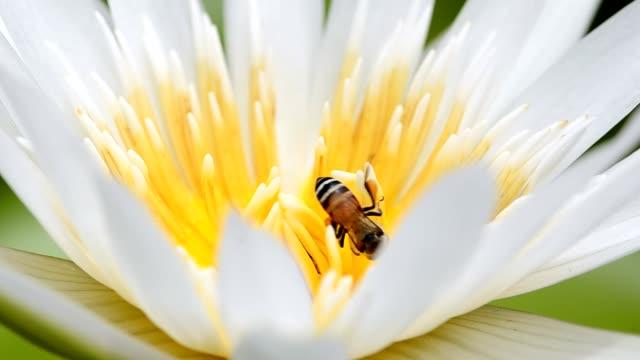 piccola ape in loto bianco - ape operaia video stock e b–roll