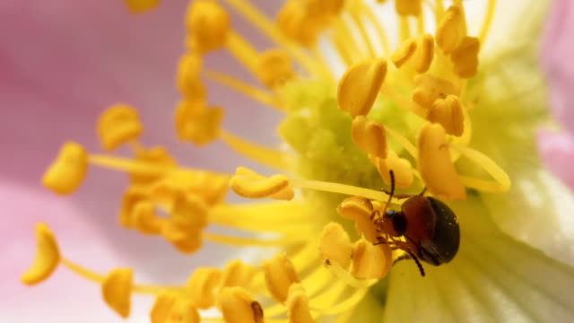 Small beetle on a flower of a dogrose. Small beetle sits on the stamen of a rose hip flower and collects nectar. Macro footage. Natural background. arthropod stock videos & royalty-free footage