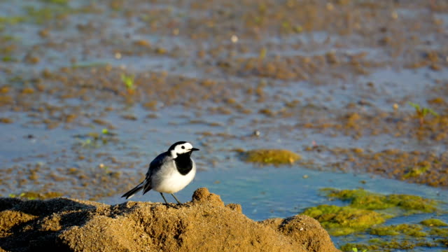 A small bird (a white wagtail) walks the swamp. The bird catches insects and eats them. Sunny summer morning. video