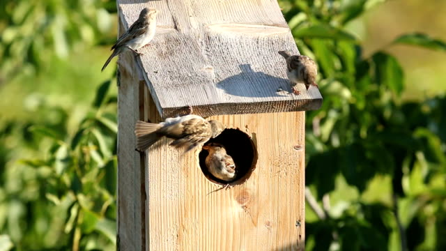 Small birds Sparrows nesting in a nest box video