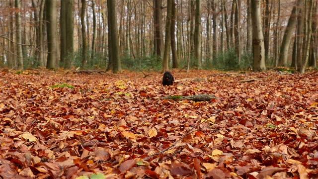 Small black dog running through autumn leaves video