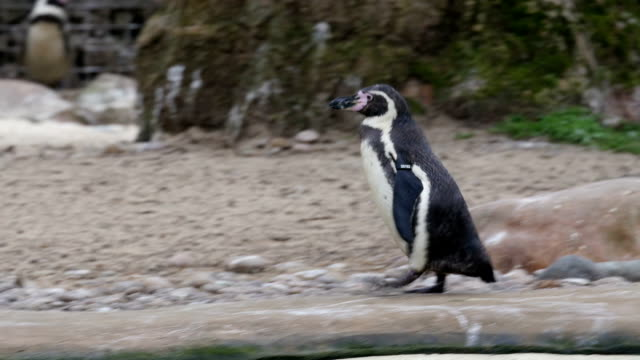 stockvideo's en b-roll-footage met a small black penguin walking - pinguins swimming
