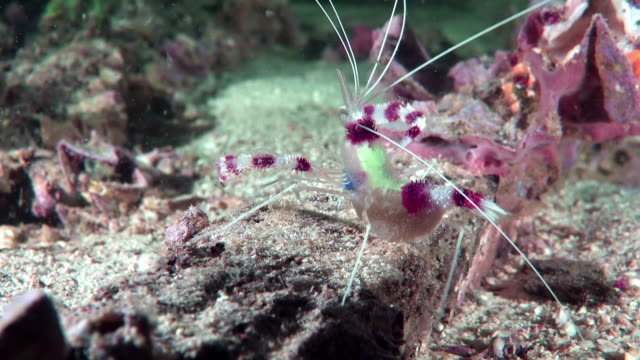 Small boxer shrimp close-up Small cleaner shrimp with caviar walking at the bottom of the sea cleaner shrimp stock videos & royalty-free footage