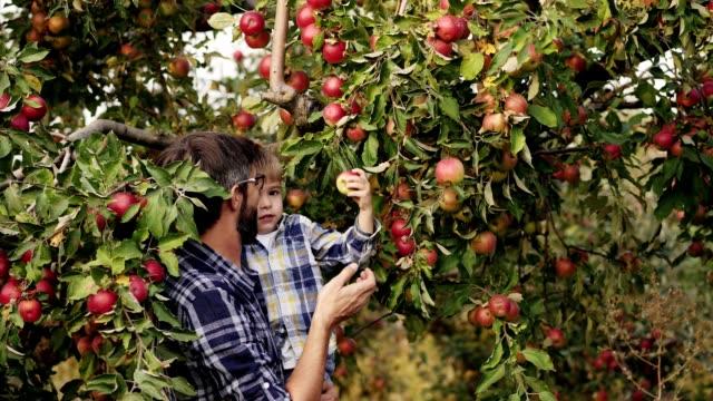 liten pojke hjälper far att skörda på apple garden - fruktträdgård bildbanksvideor och videomaterial från bakom kulisserna