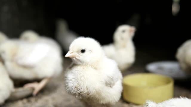small broiler chicks - młody ptak filmów i materiałów b-roll