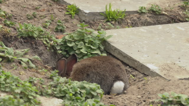 A small brown rabbit digging a hole