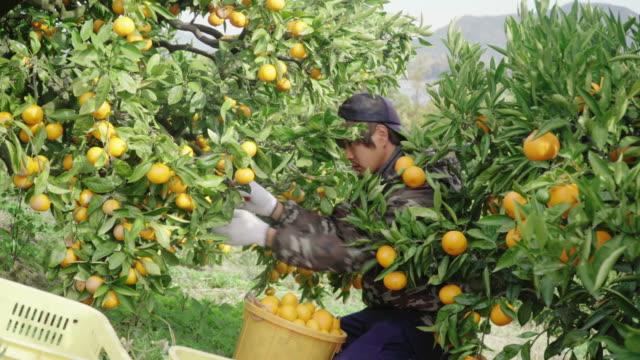 柑橘類農場でオレンジを摘む中小企業の農場の所有者 - 日本文化点の映像素材/bロール
