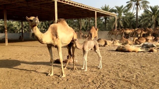 en liten kamel dricker bröstmjölk. kamel farm i bahrain - djurfamilj bildbanksvideor och videomaterial från bakom kulisserna
