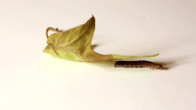 Small caterpillar crawling near leaf