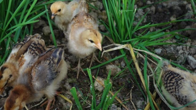 small chicken grow in the vegetable field