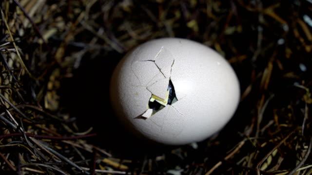 small chicken hatching - nowe życie filmów i materiałów b-roll