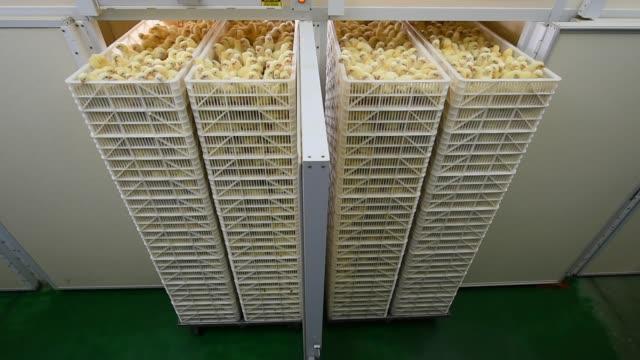 vidéos et rushes de petit poulet dans barre d'état - grange
