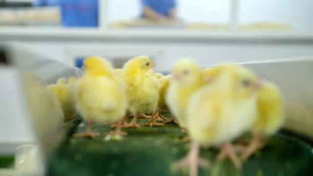 small chicks at a conveyor line at poultry. 4k. - młody ptak filmów i materiałów b-roll