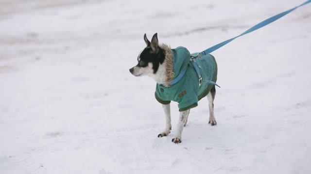 маленькая собака чихуахуа, одетая в зеленую куртку, дрожит и бежит по заснеженной улице. рядом с ним пожилая хозяйка в теплых зимних туфлях - жакет стоковые видео и кадры b-roll