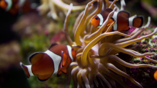 ein kleiner clownfisch (premnas biaculeatus) mit aktinia am korallenriff - riff stock-videos und b-roll-filmmaterial
