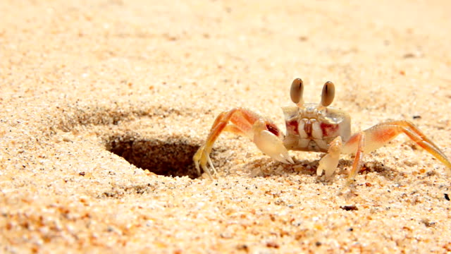 piccolo granchio vivere in una buca sulla spiaggia - granchio video stock e b–roll