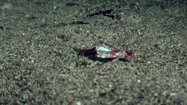 small crab runs fast on the seabed in the galapagos. - granchio video stock e b–roll