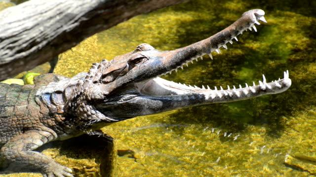 Small Crocodile video