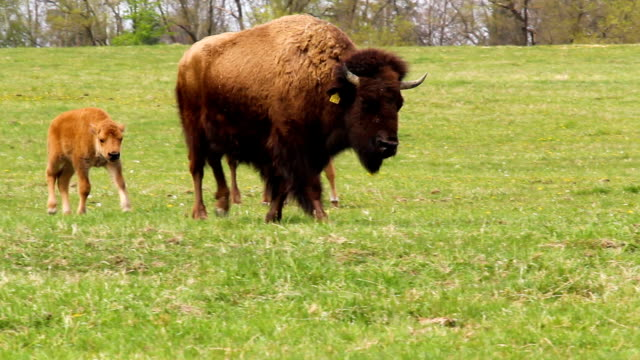 Small cute bison calf running on meadow pasture. Playing cow on grass