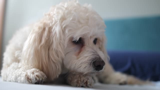 small cute dog enjoy at home - bichon frisé video stock e b–roll