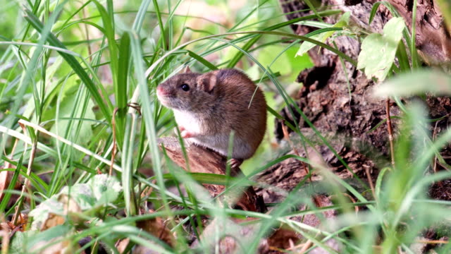 vídeos de stock e filmes b-roll de small cute fluffy gray harvest mouse sitting in grass at root of old tree in field. summer evening - castanho