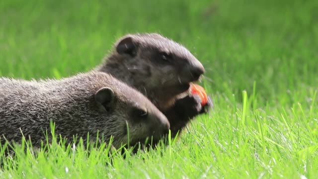 Small cute groundhog eating a carrot in grass, another comes along to take it