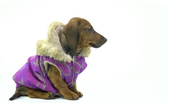 a small dachshund sits on a white background in a jacket - copricapo abbigliamento video stock e b–roll