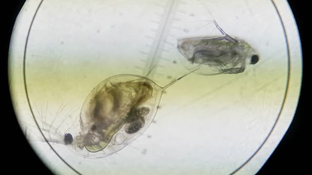 (Biology) Small daphnia organisms moving under a light microscope at x100 magnification