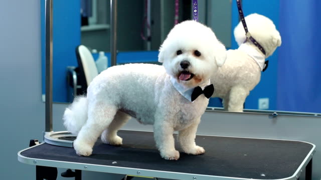 a small dog bichon frise stands on a table in a veterinary clinic. - bichon frisé video stock e b–roll