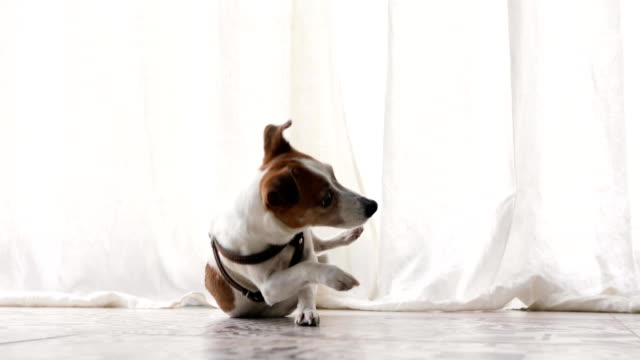 Small dog executes a command pet obedience workout Active small dog Dog Jack Russell Terrier executes a command pet obedience workout indoors jack russell terrier stock videos & royalty-free footage