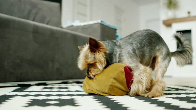 A small dog has sex with a pillow at home video