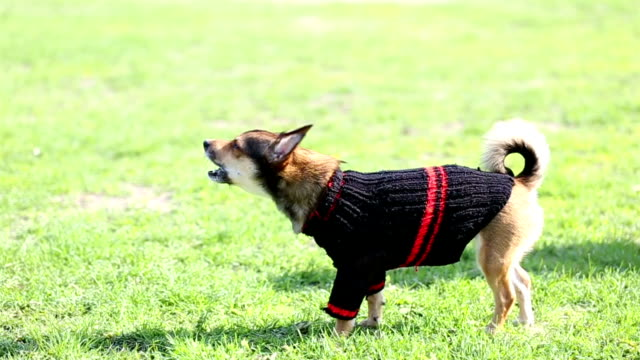 Small dog in sweater barks at extraneous people. video