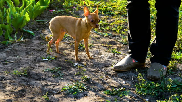A small dog (Chihuahua breed) is afraid to shoot on camera. The hostess keeps the dog on a leash, so that she does not run away. The dog is trembling in front of the camera. The mistress strokes the dog and calms her. The sun illuminates the silhouette of video