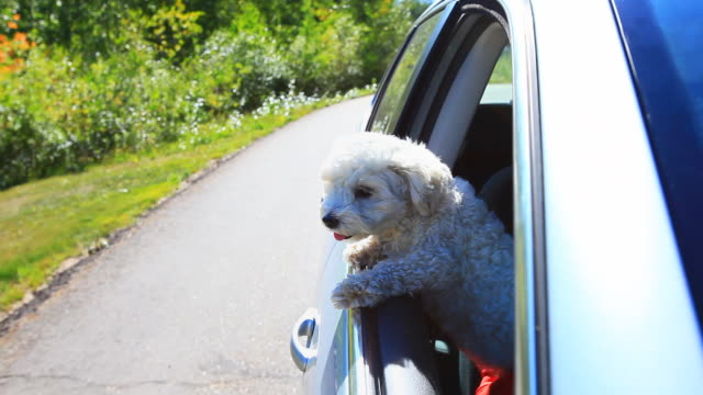 Small dog looking out car window going down the road video
