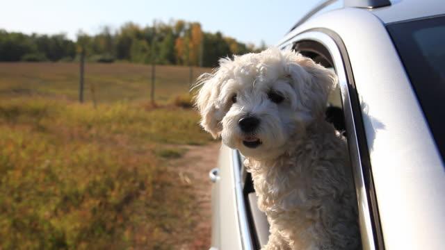 kleiner hund mit blick aus dem fenster, die sich auf der straße - dog car stock-videos und b-roll-filmmaterial