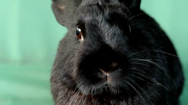 Small dwarf black bunny close-up