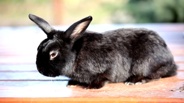 Small dwarf black bunny lying